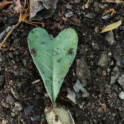 blaadje in de vorm van een hartje